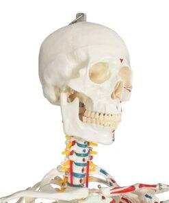 vidaXL skeletmodel med plakat 181 cm